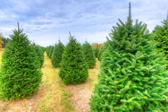 every winter you can find a real christmas tree for sale on almost every street corner from the boy scouts and local churches to national hardware stores - Real Christmas Trees For Sale